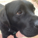 black-lab-closeup