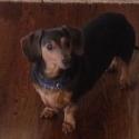 dachshund-2