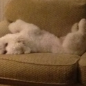 white-dog-on-couch