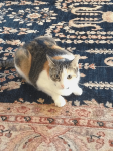 Happy multicolored cat on rug, looking at cat sitter